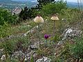 40204 Silberscharte-Jurinea cyanoides.jpg
