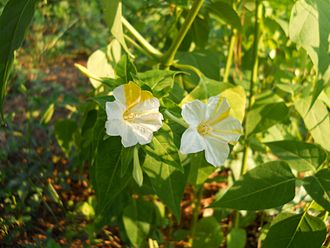 Mirabilis jalapa - Naturally occurring color variation on four o'clock flowers.