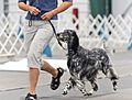 AKC English Setter Dog Show 2011.jpg