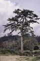 ASC Leiden - F. van der Kraaij Collection - 02 - 016 - A giant tree along side dirt road with a Liberian man - Montserrado County, Liberia, 1977.tiff
