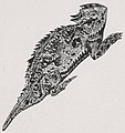 A Horned Lizard from The Horned Frog (1909) - Vol. 6 (page 9 crop).jpg