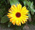 A Ringelblume uf2.jpg