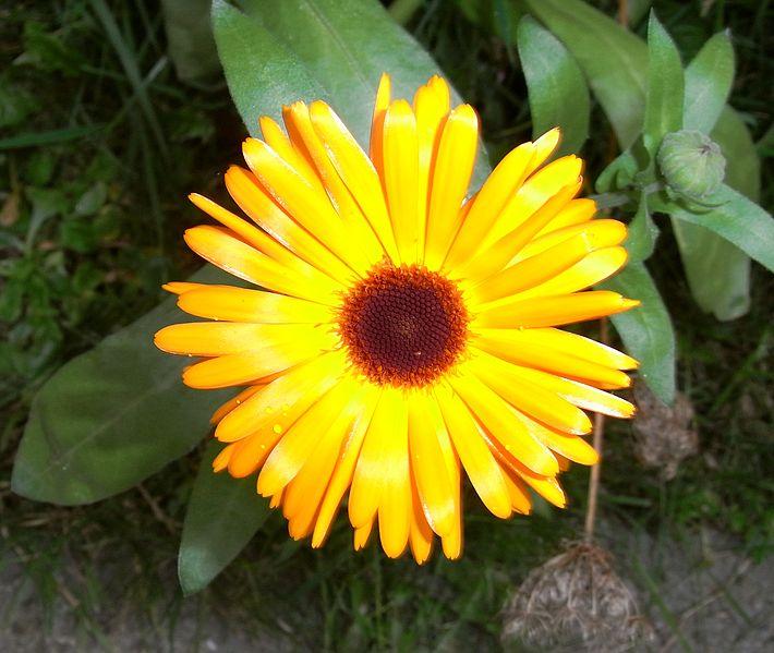 Ficheiro:A Ringelblume uf2.jpg