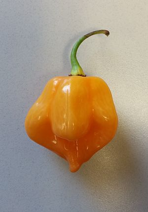Scotch bonnet - Image: A Scotch Bonnet