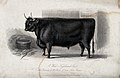 A West Highland ox. Etching by H. Beckwith, ca 1844, after W Wellcome V0021641.jpg