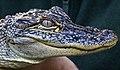 A beautiful Face Australia Zoo-1 (9130875298).jpg