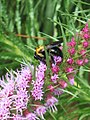 A bee pollinating gayfeather blooms. (25084896106).jpg