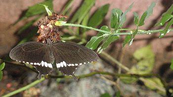 A black butterfly.jpg