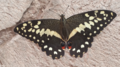 A butterfly in Accra.png
