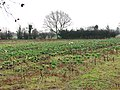 A field of Brussels Sprouts - geograph.org.uk - 1060312.jpg
