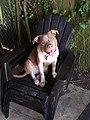 A light brown and white pitbull.jpg