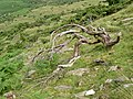 A shattered tree - geograph.org.uk - 897672.jpg