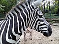 A thoughtful zebra.jpg