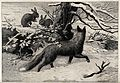 A winter scene with a fox watching rabbits feeding in the sn Wellcome V0021553.jpg