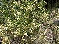 Acacia penninervis (3235451425).jpg