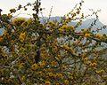 Acaciacaven29b.jpg