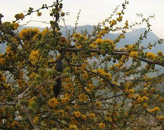 <i>Vachellia caven</i> species of plant