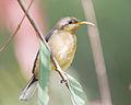 Acanthorhynchus tenuirostris juvenile - Australian National Botanic Gardens.jpg