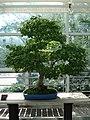 Acer Palmatum bonsai 2.JPG