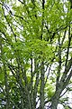 Acer pentaphyllum kz03.jpg