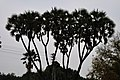 Acharya Jagadish Chandra Bose Indian Botanic Garden - Howrah 2011-02-20 1586.JPG