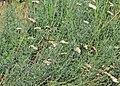 Achillea crithmifolia Prague 2013 2.jpg