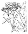Achillea macrophylla Coste1975.png