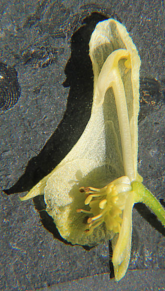 Aconitum - Dissected flower of Aconitum vulparia, showing the nectaries