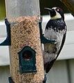 Acorn Woodpecker5.jpg