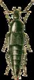 Acylophorus glaberrimus Jacobson.png