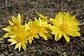 Adonis vernalis (40551125533).jpg