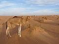 Adrar-Camel (3).jpg