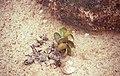 Adromischus cf. schuldtianus 19990731.jpg