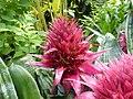 Aechmea fasciata Edinburgh botanical garden 01.jpg