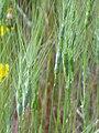 Aegilops triuncialis Enfoque 2010-5-26 DehesaBoyaldePuertollano.jpg