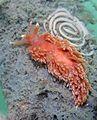 Aeolidiella chromosoma from San Francisco, California with egg spiral.jpg