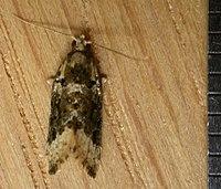 Aeolostoma scutiferana.jpg