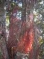 Aerial roots of pohutukawa.jpg