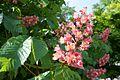 Aesculus x carnea - Flickr - odako1 (1).jpg