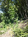 Aethusa cynapium subsp. elata sl14.jpg