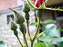 Boccioli di rosa attaccati da adulti di afide grande (Macrosiphum rosae)