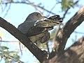 African Cuckoo, crop.jpg