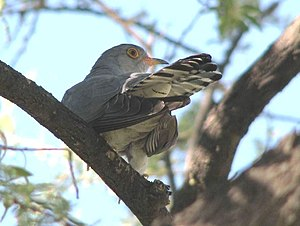 African cuckoo - Image: African Cuckoo, crop