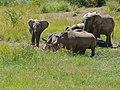 African Elephants (Loxodonta africana) and White Rhinos (Ceratotherium simum) (7035742637).jpg