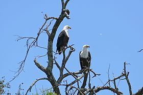 African Fish Eagles (Haliaeetus vocifer) couple (16305613328).jpg