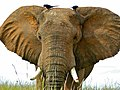 African Savannah Elephant (Loxodonta africana) (6861464825).jpg