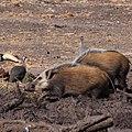 African bush pigs, Mapungubwe National Park (35884241784).jpg
