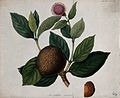 African peach (Sarcocephalus latifolius); fruiting and flowe Wellcome V0044478.jpg