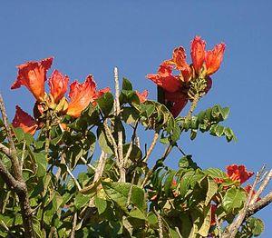 afrikanischer tulpenbaum spathodea campanulata