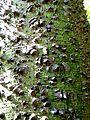 Agaete - Huerto de las Floras 8 Florettseidenbaum.jpg